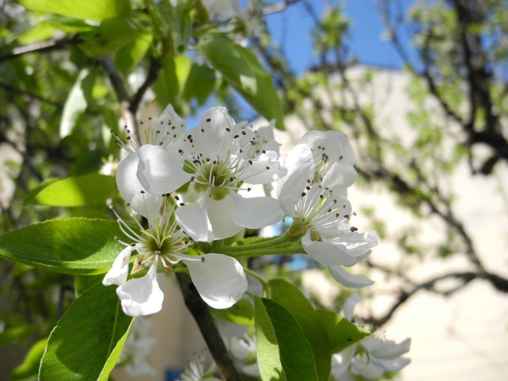 fleurs de poirier dans un verger
