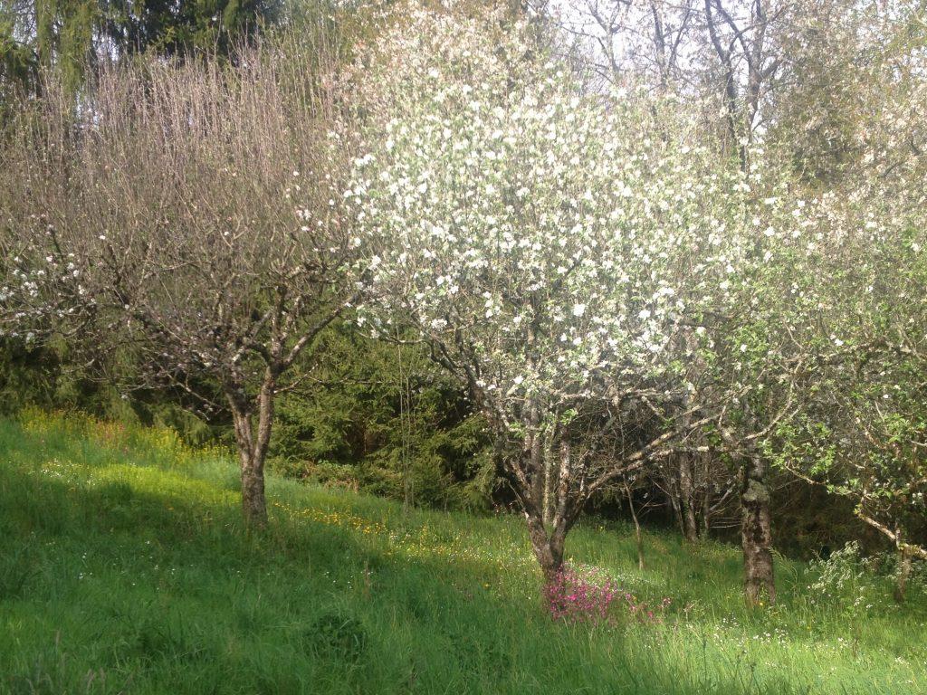 arbres fruitiers en fleurs au Centre Espérance