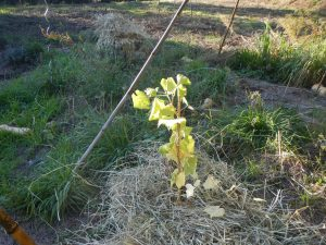 chantiers plantation de vigne Noah cépage interdit